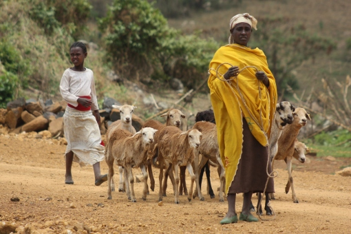 Taking sheep for disease testing in Bako, Ethiopia