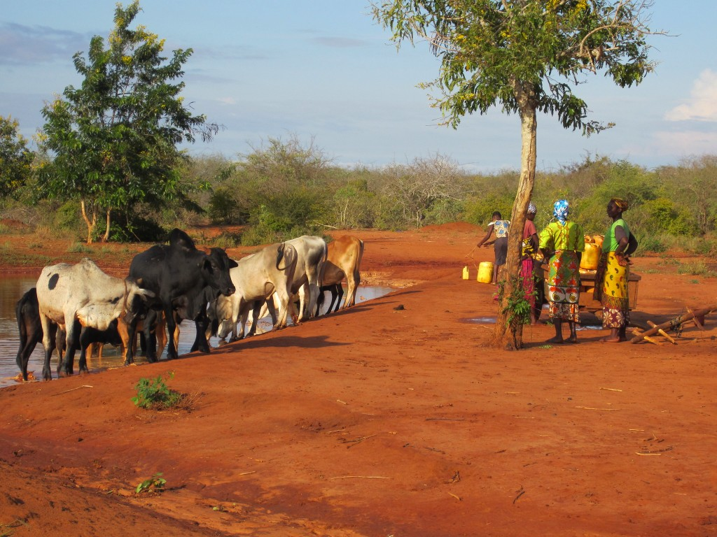Women waiting to fetch water as cattle drink from a water pan in Taita Taveta, Kenya (photo credit: ILRI/ Juliet Kariuki)