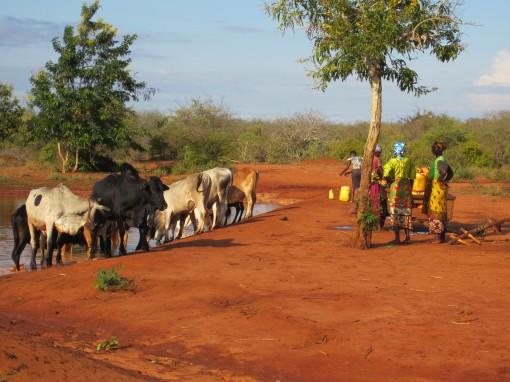 Women waiting to fetch water as cattle drink from a water pan in Taita Taveta, Kenya (photo credit: ILRI/ Juliet Kariuki)