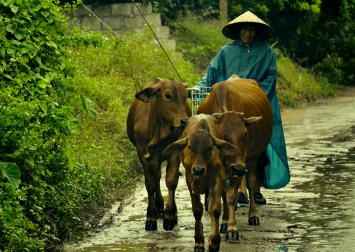 A local cattle owner walks his cattle on a rainy day in Hung Yen province, Vietnam (photo credit: ILRI/Nguyen Ngoc Huyen).
