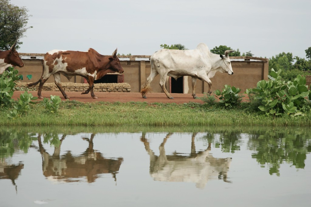 Cows walk along an irrigation canal in Niolo, Mali (photo credit: ILRI/Stevie Mann).