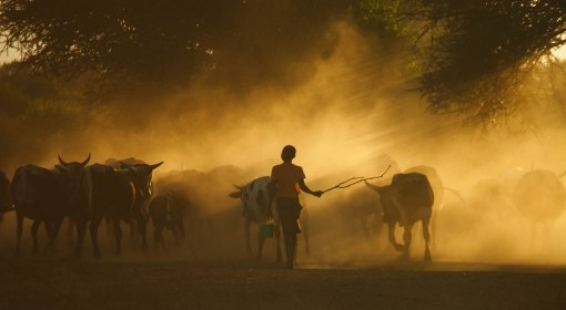 Cattle coming in from the fields in the evening in Lhate Village, Chokwe, Mozambique (photo credit: ILRI/Stevie Mann).