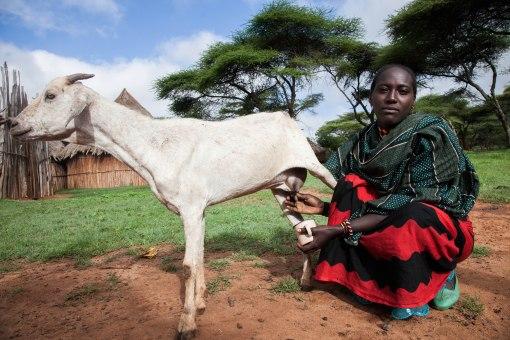 A pastoralist milks her goat, Borana, Ethiopia (photo credit: ILRI/Zerihun Sewunet).