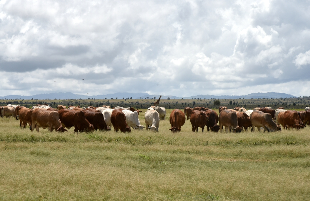 Cattle and wildlife at the ILRI Kapiti Research Station (photo credit: ILRI/Paul Karaimu)