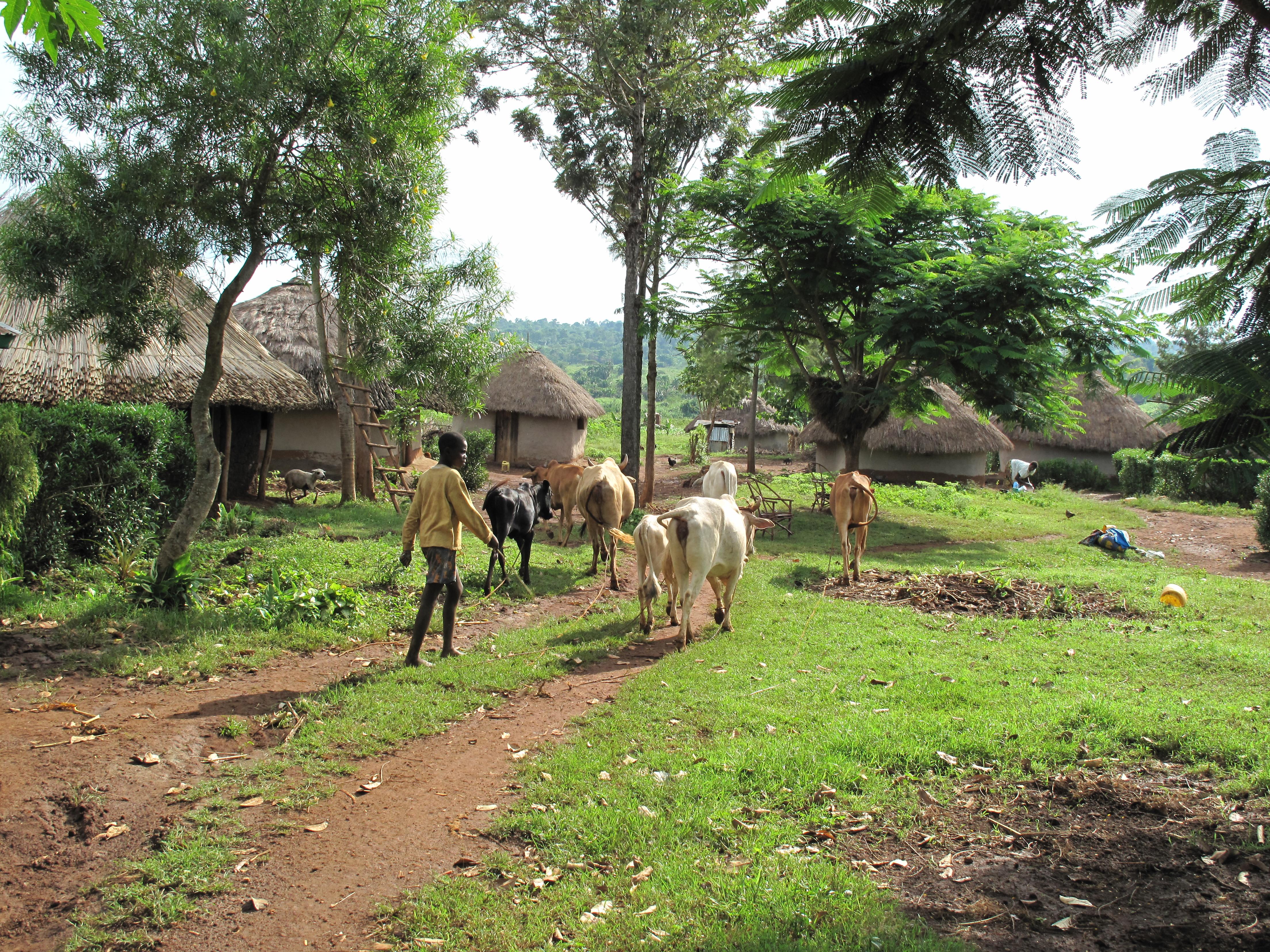 A typical mixed crop-livestock farming household, western Kenya (ILRI/Charlie Pye-Smith)