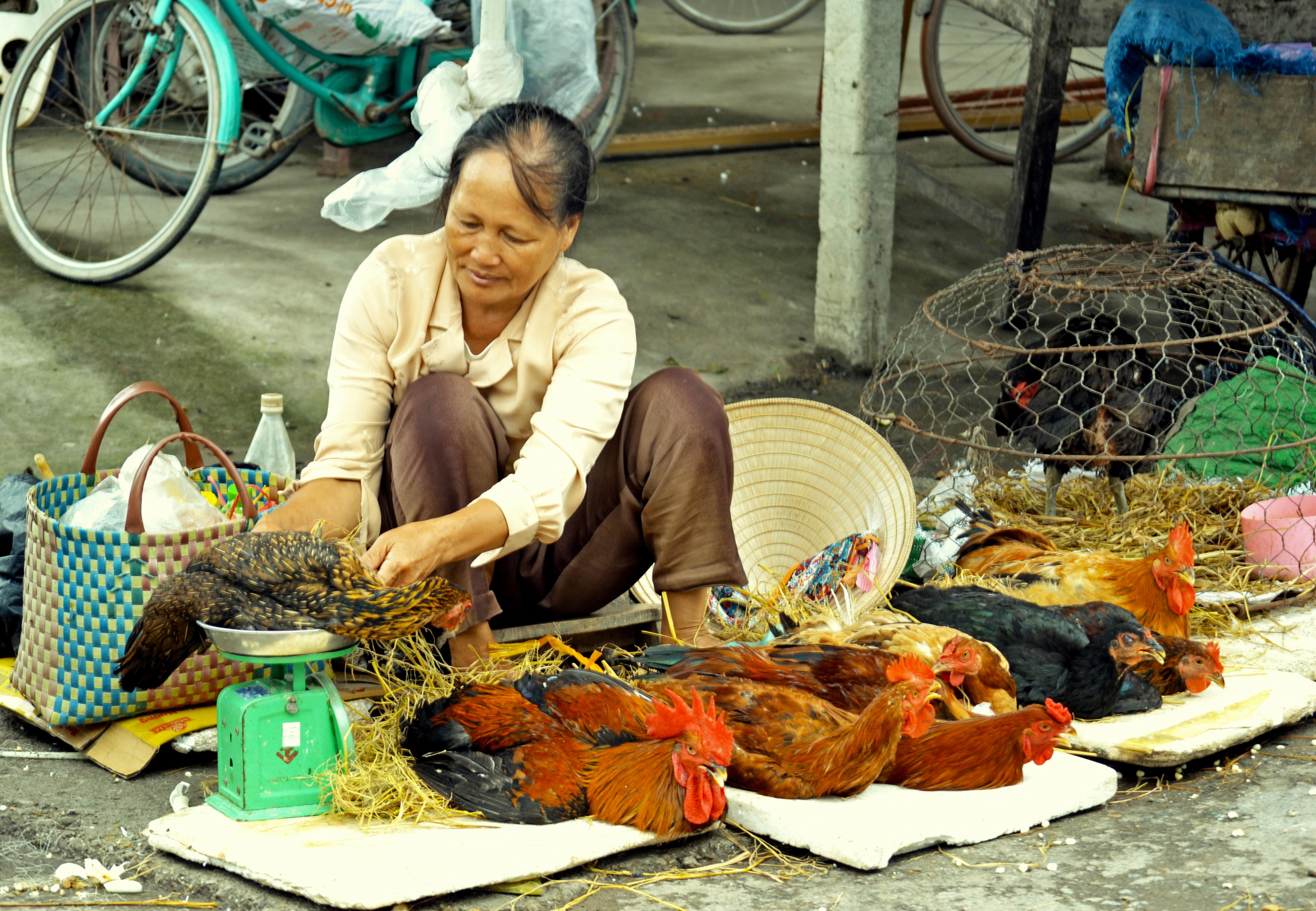 A live chicken vendor weighs a chicken in Hung Yen province, Vietnam (photo credit: ILRI/Nguyen Ngoc Huyen).